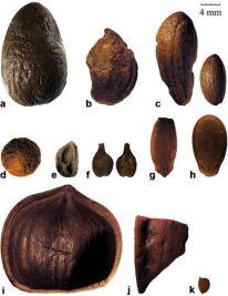 alberi frutto fenicio punico