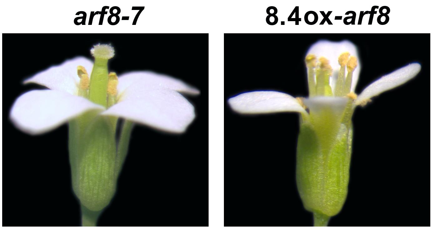 Studio Cnr. 'Nuovo messaggero' di un gene regola la fertilità maschile delle piante