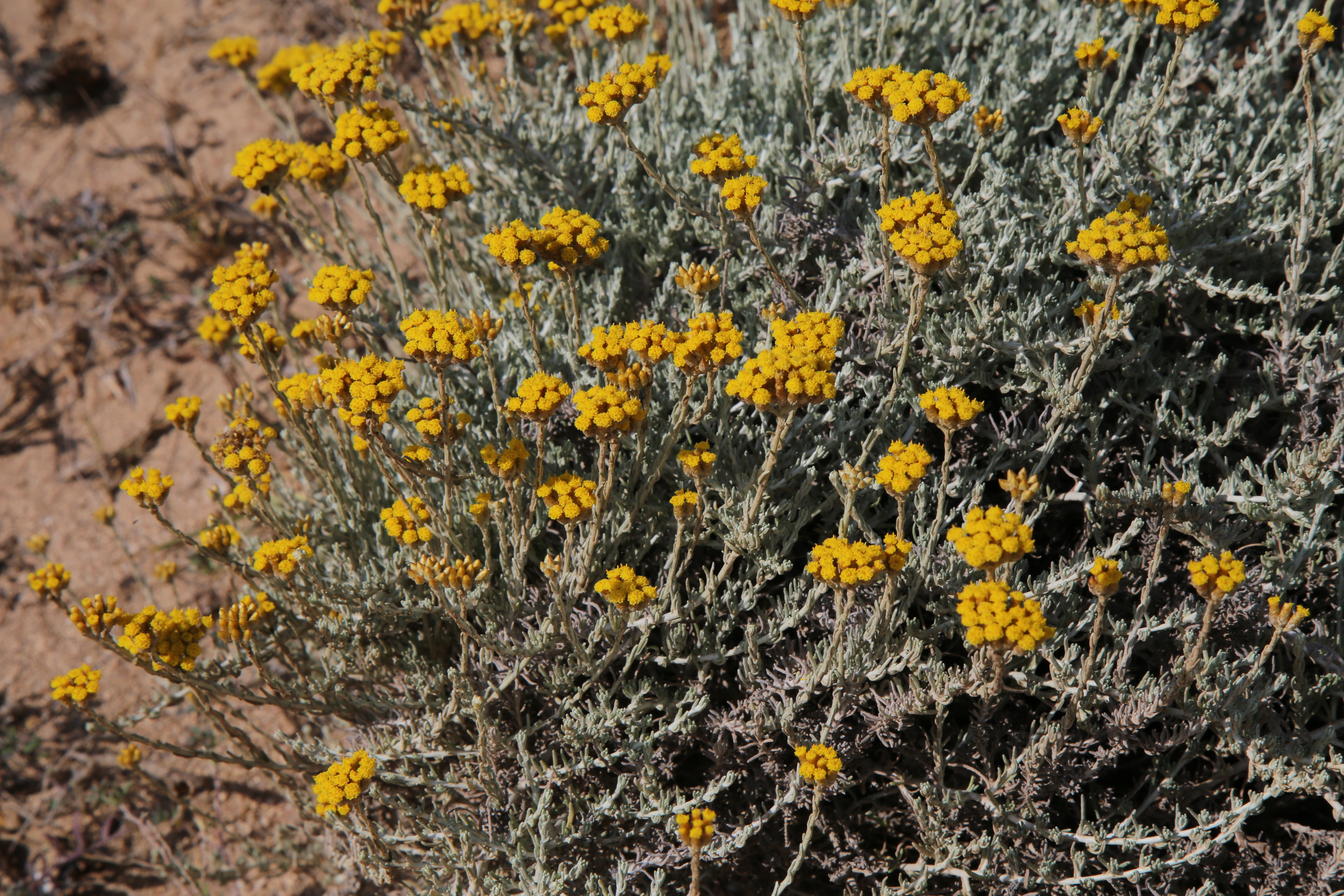 Ricerca scientifica, la pianta dell'elicriso e' un alleato nella bonifica dei siti minerari: lo dimostra lo studio di un gruppo di ricercatori dell'Università di Cagliari