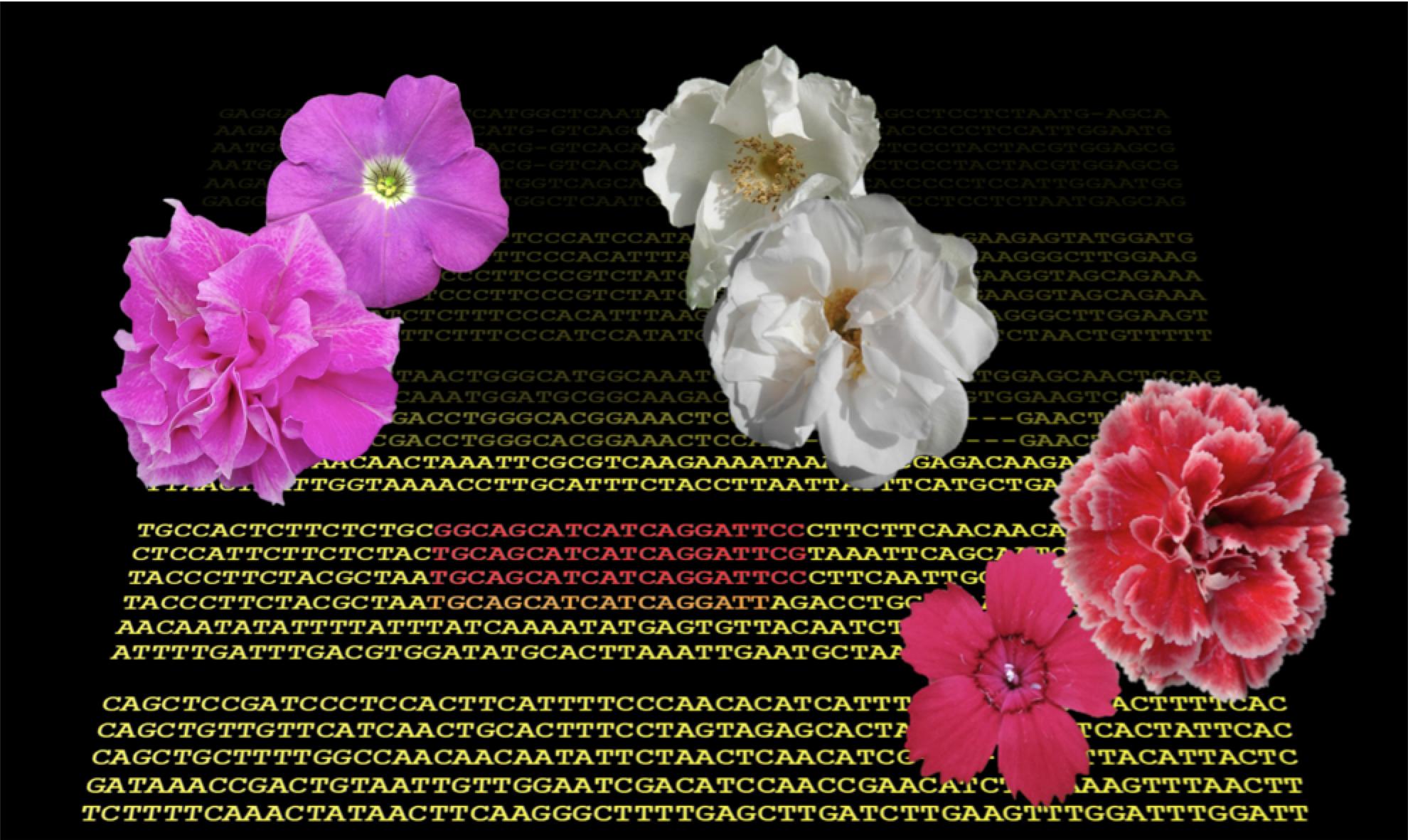 """Rose, garofani e petunie: la """"petalosità"""" è dovuta a un gene troppo attivo"""